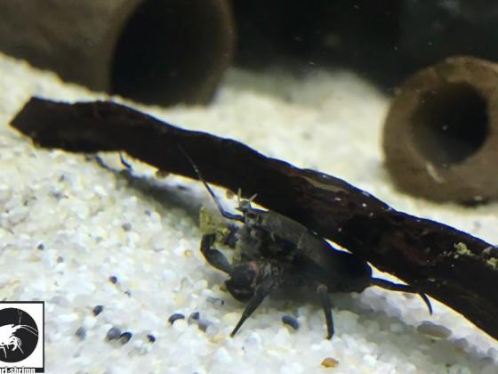 Aegla Platensis