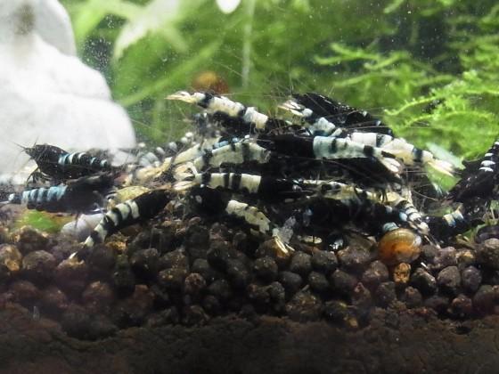 """Meine Black Pintos beim """"Shirakuraprügeln"""" - Nachkommen meiner Tiere von Garnelen Gümmer"""