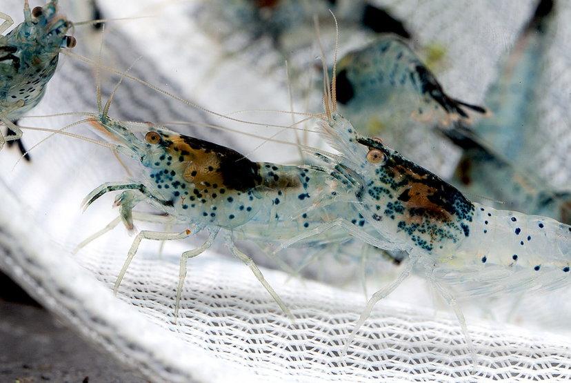 Blue_Black Dalmatina Shrimp - Neocaridina davidi var. 'Dalmatina Blue_Black' #3