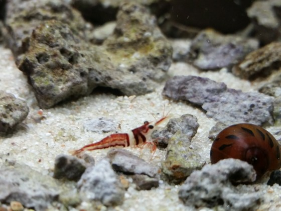 Sulawesi Harlekin