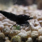 "Einer meiner gefallenen King Kong Full Black auf ""JBL Shrimp Soil beige"""